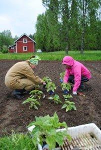 Tuovi Kähkönen ja Irina Laatikainen istuttamassa auringonkukan taimia.
